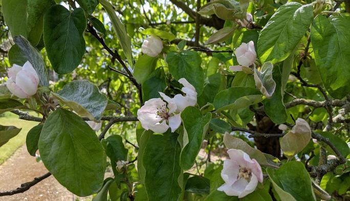 Quince tree, Hall Garden